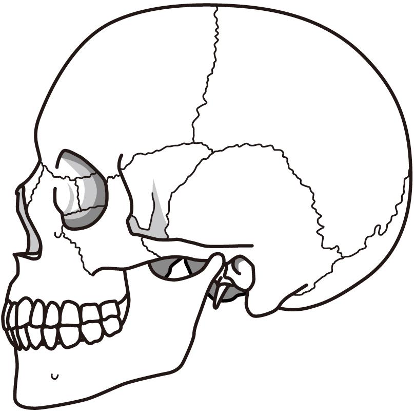 ハチ 張り 頭蓋骨